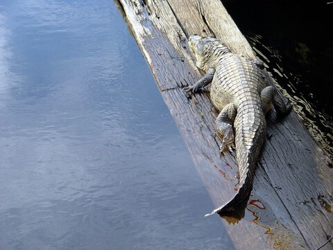 alligator of the Pantanal